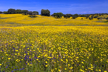 Corn Marigold (Chrysanthemum segetum) and Blueweed (Echium vulgare) flowers in field, Alentejo, Portugal  -  Duncan Usher