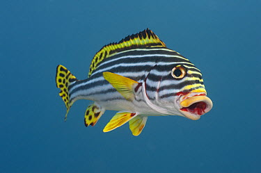 Indian Ocean Oriental Sweetlips (Plectorhinchus vittatus) in defensive posture, Bali, Indonesia  -  Fred Bavendam