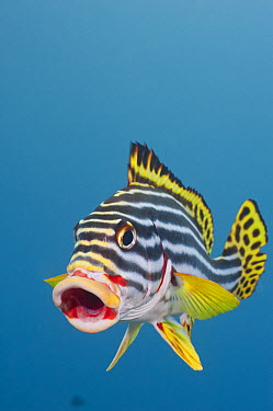 Indian Ocean Oriental Sweetlips (Plectorhinchus vittatus) at cleaning station, Bali, Indonesia  -  Fred Bavendam