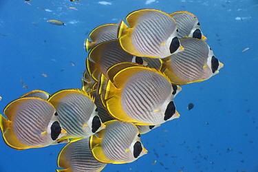 Eyepatch Butterflyfish (Chaetodon adiergastos) school, Bali, Indonesia  -  Fred Bavendam