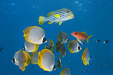 Eyepatch Butterflyfish (Chaetodon adiergastos) and Indian Ocean Oriental Sweetlips (Plectorhinchus vittatus) group waiting while Flame Goatfish (Mulloidichthys vanicolensis) is being cleaned by Blue-s...  -  Fred Bavendam