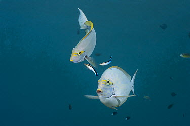Elongate Surgeonfish (Acanthurus mata) pair being cleaned by Blue-streaked Cleaner Wrasse (Labroides dimidiatus) pair, Bali, Indonesia  -  Fred Bavendam
