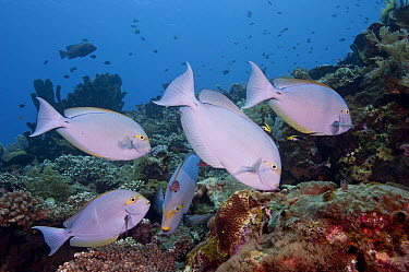 Elongate Surgeonfish (Acanthurus mata) school being cleaned by juvenile Redfin Hogfish (Bodianus dictynna) and Blackspot Cleaner Wrasses (Labroides pectoralis), Bali, Indonesia  -  Fred Bavendam