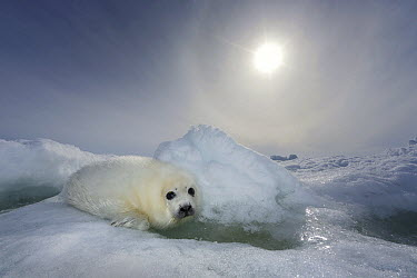 Harp Seal (Phoca groenlandicus) pup on ice, Magdalen Islands, Gulf of Saint Lawrence, Quebec, Canada  -  Ingo Arndt