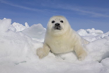 Harp Seal (Phoca groenlandicus) pup on ice, Magdalen Islands, Gulf of Saint Lawrence, Quebec, Canada  -  Ingo Arndt
