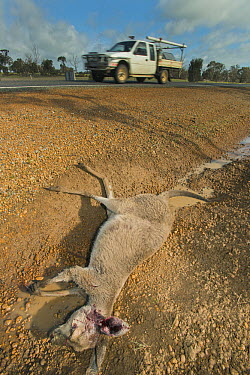 Western Grey Kangaroo (Macropus fuliginosus) killed on highway, Western Australia, Australia  -  Kevin Schafer