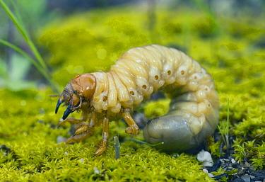 Moth larva, Western Australia, Australia  -  Kevin Schafer