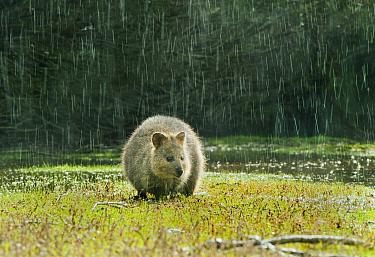 Quokka (Setonix brachyurus) in rainstorm, Rottnest Island, Perth, Western Australia, Australia  -  Kevin Schafer