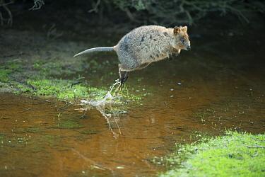 Quokka (Setonix brachyurus) hopping over creek, Rottnest Island, Perth, Western Australia, Australia  -  Kevin Schafer