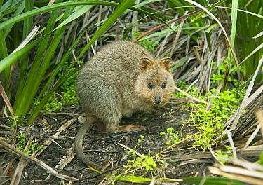 Quokka (Setonix brachyurus), Rottnest Island, Perth, Western Australia, Australia  -  Kevin Schafer