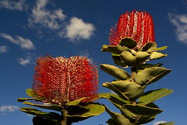 Scarlet Banksia (Banksia coccinea) flowering, Fitzgerald River National Park, Western Australia, Australia  -  Kevin Schafer
