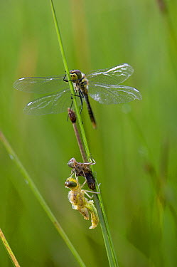 Black Darter (Sympetrum danae) dragonfly with newly emerged individual, Alaska  -  Michael Quinton