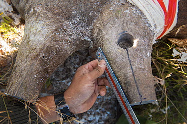 Black Rhinoceros (Diceros bicornis) horn being measured before radio transmitter is placed within it, Great Karoo, South Africa  -  Pete Oxford