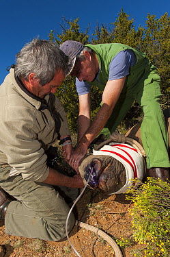 Black Rhinoceros (Diceros bicornis) sub-adult being blindfolded for relocation, Great Karoo, South Africa  -  Pete Oxford