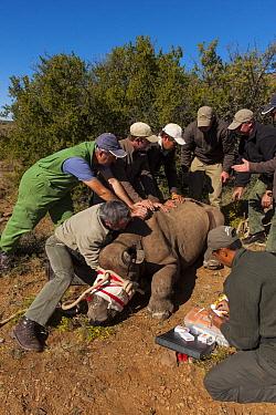 Black Rhinoceros (Diceros bicornis) sub-adult receiving medical exam before relocation, Great Karoo, South Africa  -  Pete Oxford