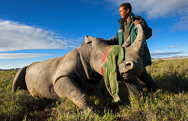 White Rhinoceros (Ceratotherium simum) being released in private game reserve, Great Karoo, South Africa  -  Pete Oxford
