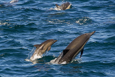 Long-beaked Common Dolphin (Delphinus capensis) mother and calf jumping, Baja California, Mexico  -  Suzi Eszterhas