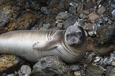 Northern Elephant Seal (Mirounga angustirostris) female, Isla San Benitos, Baja California, Mexico  -  Suzi Eszterhas
