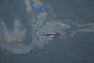 Humpback Whale (Megaptera novaeangliae) surfacing in oil slicked water, Skjalfandi, Iceland  -  Suzi Eszterhas