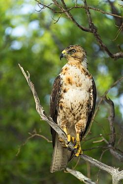 Galapagos Hawk (Buteo galapagoensis), Espumilla Beach, James Bay, Santiago Island, Galapagos Islands, Ecuador  -  Tui De Roy