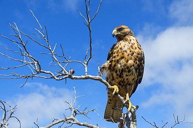 Galapagos Hawk (Buteo galapagoensis), Alcedo Volcano, Isabela Island, Galapagos Islands, Ecuador  -  Tui De Roy