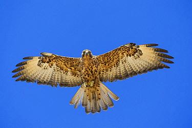 Galapagos Hawk (Buteo galapagoensis) flying, Alcedo Volcano, Isabela Island, Galapagos Islands, Ecuador  -  Tui De Roy