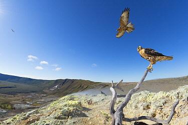 Galapagos Hawk (Buteo galapagoensis) pair overlooking sulphur fumaroles on caldera rim, Alcedo Volcano, Isabela Island, Galapagos Islands, Ecuador  -  Tui De Roy