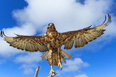 Galapagos Hawk (Buteo galapagoensis) taking flight, Alcedo Volcano, Isabela Island, Galapagos Islands, Ecuador  -  Tui De Roy