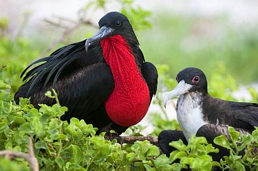 Great Frigatebird (Fregata minor) male and female, Tower Island, Galapagos Islands, Ecuador  -  Tui De Roy