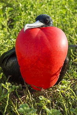 Great Frigatebird (Fregata minor) male displaying with gular pouch fully inflated, Darwin Bay, Tower Island, Galapagos Islands, Ecuador  -  Tui De Roy