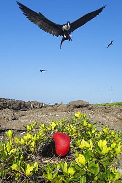 Great Frigatebird (Fregata minor) male displaying with gular pouch fully inflated while female flies over nest, Darwin Bay, Tower Island, Galapagos Islands, Ecuador  -  Tui De Roy