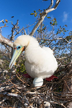 Red-footed Booby (Sula sula) chick and unhatched egg in nest, Tower Island, Galapagos Islands, Ecuador  -  Tui De Roy