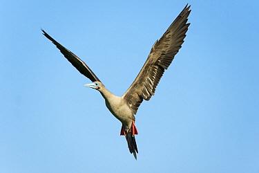 Red-footed Booby (Sula sula) flying, Darwin Bay, Tower Island, Galapagos Islands, Ecuador  -  Tui De Roy