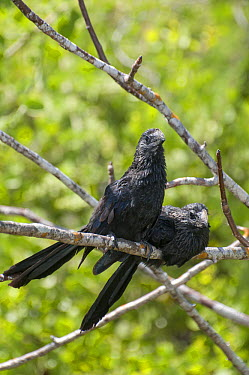 Smooth-billed Ani (Crotophaga ani) pair, Puerto Ayora, Santa Cruz Island, Galapagos Islands, Ecuador  -  Tui De Roy