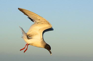 Swallow-tailed Gull (Creagrus furcatus) flying, South Plaza Island, Galapagos Islands, Ecuador  -  Tui De Roy