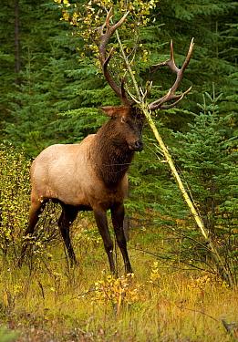 Elk (Cervus elaphus) bull scent marking sapling with antlers, North America  -  Mark Raycroft