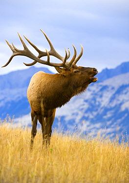 Elk (Cervus elaphus) bull bugling, North America  -  Mark Raycroft
