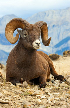 Bighorn Sheep (Ovis canadensis) ram, North America  -  Mark Raycroft