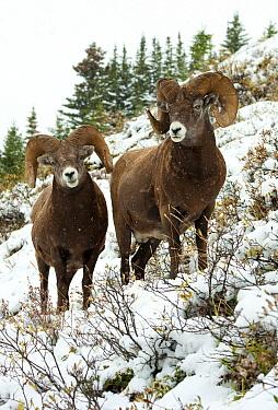 Bighorn Sheep (Ovis canadensis) rams in winter, North America  -  Mark Raycroft