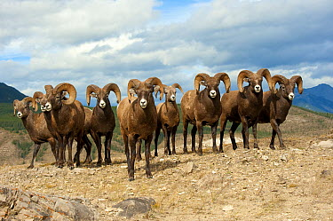 Bighorn Sheep (Ovis canadensis) rams in a line with one standing out front, North America  -  Mark Raycroft