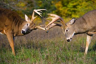White-tailed Deer (Odocoileus virginianus) bucks sparring, North America  -  Mark Raycroft