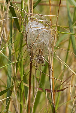 Nursery-web Spider (Pisaura mirabilis) with egg-sac, Corfu, Greece  -  Stephen Dalton