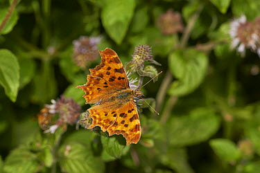 Butterfly on mint flowers, Sussex, England  -  Stephen Dalton