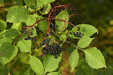 European Elder (Sambucus nigra) berries, Sussex, England  -  Stephen Dalton