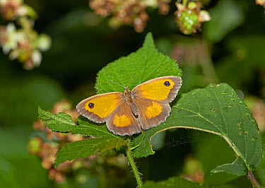 Gatekeeper (Pyronia tithonus) butterfly, Sussex, England  -  Stephen Dalton