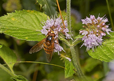 Hoverfly (Volucella inanis) feeding on nectar, Sussex, England  -  Stephen Dalton