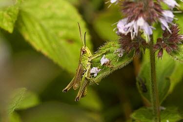 Meadow Grasshopper (Chorthippus parallelus), Sussex, England  -  Stephen Dalton