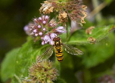 Marmalade Hover Fly (Episyrphus balteatus) male, Sussex, England  -  Stephen Dalton