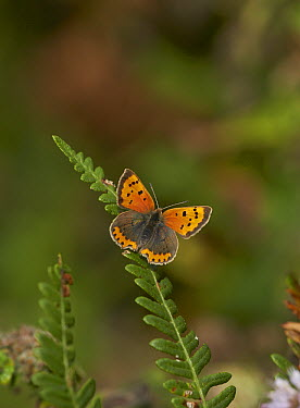 Small Copper (Lycaena phlaeas) butterfly, Sussex England  -  Stephen Dalton