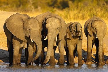 African Elephant (Loxodonta africana) herd drinking at a waterhole, Hwange National Park, Zimbabwe  -  Winfried Wisniewski